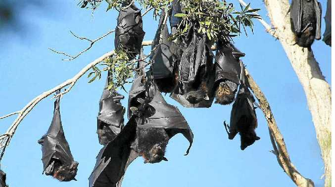 Council has decided to relocate a bat colony after lobbying from residents near Tepequar Dr in Maroochydore.