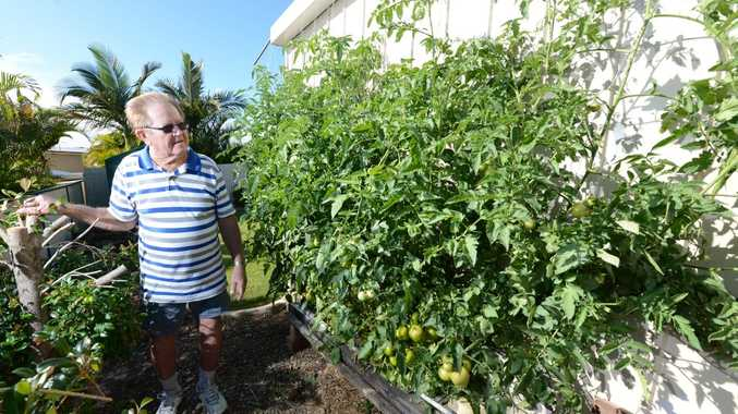 Flinders View resident Clyde Sippel with his tomato bush that has grown on it's own and is now about 3m x 2.1m. Photo: Sarah Harvey / The Queensland Times