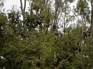 Flying fox problem may have solution