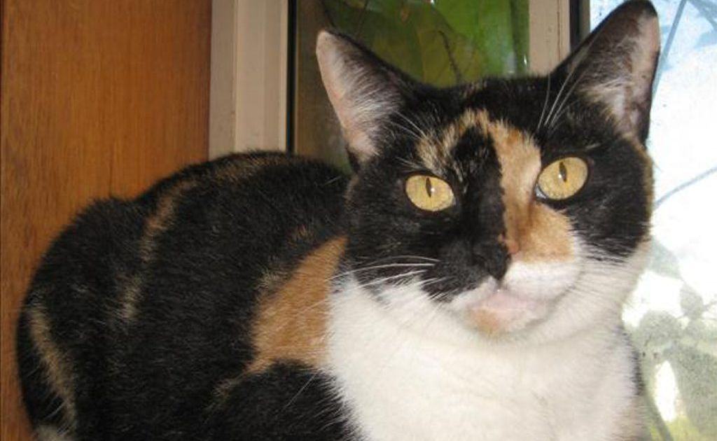 Jasmine is a 2-year-old domestic short hair cross. Photo Contributed