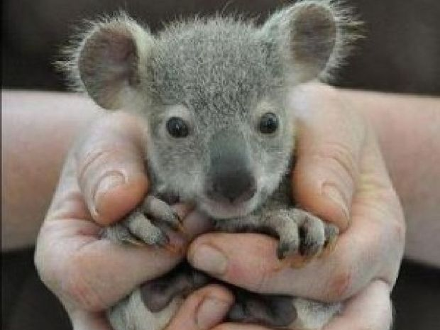 Koalas need more help to survive.