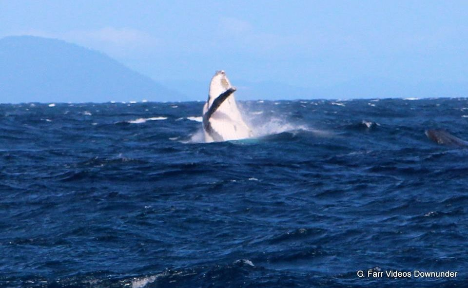 First whale sighting in the Whitsundays for 2013.