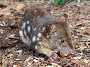 What should we call two cute little quolls?