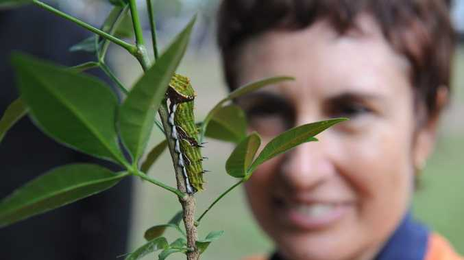 Community environment program volunteer Jenny Robin with an orchard swallowtail caterpillar during a walk in Cook's Park at Point Vernon to celebrate World Environment Day.