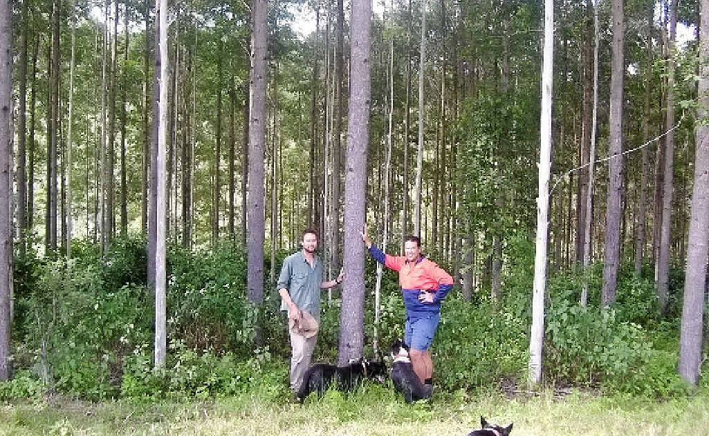 TREE FELLERS: Mark and James Wright with an eight year old Gympie messmate, thinned & pruned.
