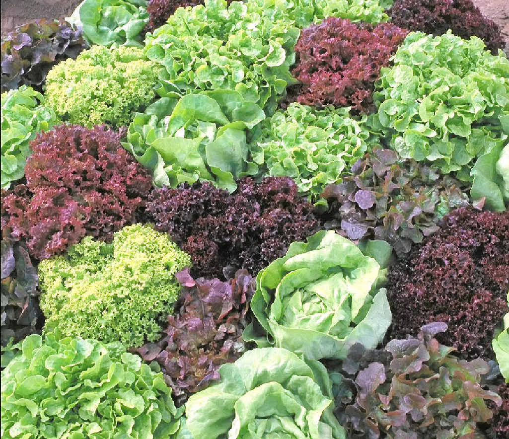There are so many lettuce varieties.