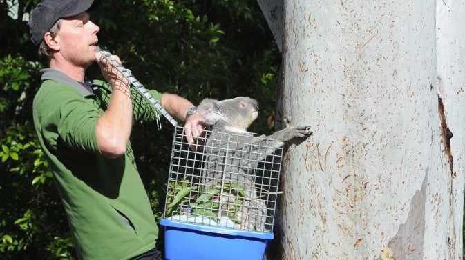 Tinana koala Kingsley has been released back to his home environment by Murray Chambers of Sunshine Coast Koala Wildlife Rescue Service.