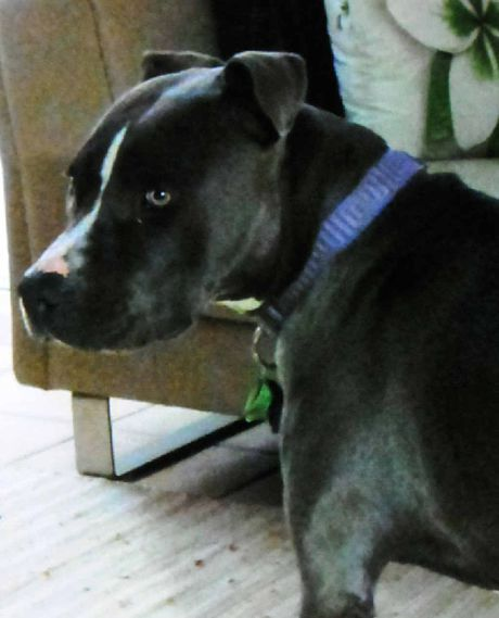 Missing American staffy Ruby was last seen on her Carters Ridge property just over a week ago.