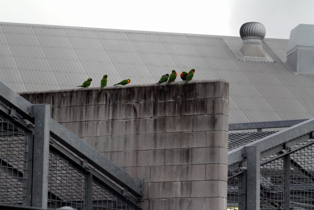 Lorikeets add a spalsh of colour to the Maryborough Correctional Centre.