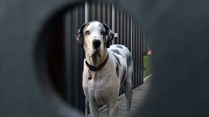 ON GUARD: Apollo the great dane as seen through a fence. Residents in Augustine Heights have been warned to be on their guard for dog nappers.