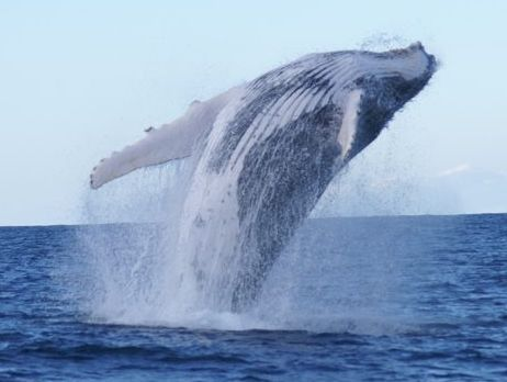 June and July are the best months to see northbound whales off the Coffs Coast.