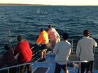 First young humpback whale of season reported in Hervey Bay