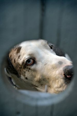 Apollo the great dane as seen through a fence. Residents in Augustine Heights have been asked to be on their guard for dog-nappers. Photo: Claudia Baxter / The Queensland Times