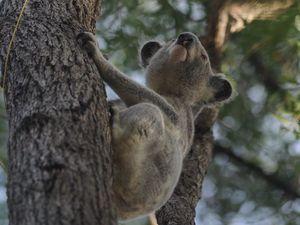 Why aren't we donating to save Tinana koalas?