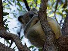 Mayor says no to Koala Protection Trust