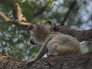Council acts to preserve koala land after Tinana clearing