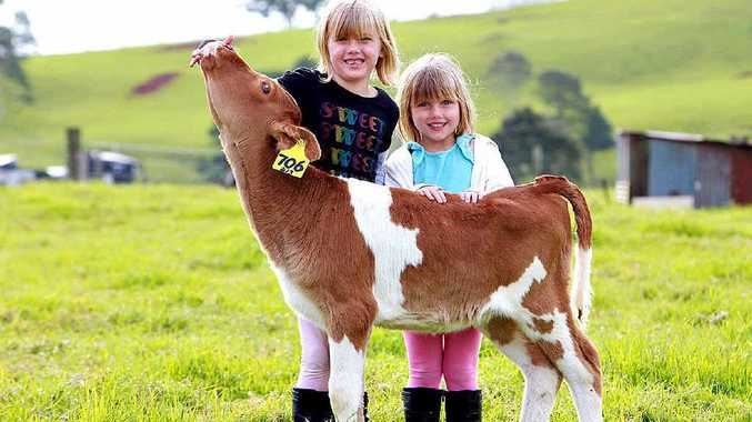 Charlotte, 6, and Nicola Wilson, 4, from Central Queensland's Middlemount get in before the start of the school holidays to meet Maleny Dairies' newest attraction, Sukey.