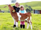 Moove over groovers, Sukey the calf takes centre stage