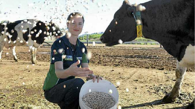 STUDY: Amy Anstis with the popped sorghum grain at UQ Gatton. The university is researching feeding cattle popped sorghum.