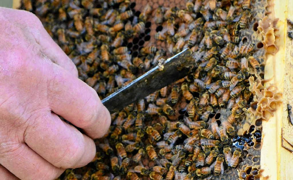 Honey bees have been trained to sniff out explosives and can also find other chemicals, including drugs and decomposing bodies.