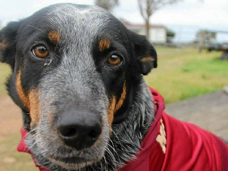 Brandy is 100% blue heeler, but that won't stop her from supporting the Queensland Maroons tonight.