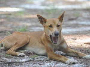 Let us save Fraser Island dingoes at M'boro sanctuary: TESS