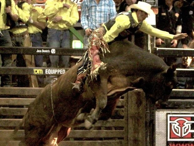 RIDER CHALLENGED: Ben Seeds hangs onto Walking Tall during the open bull ride, in the inaugural Great Western Cup.