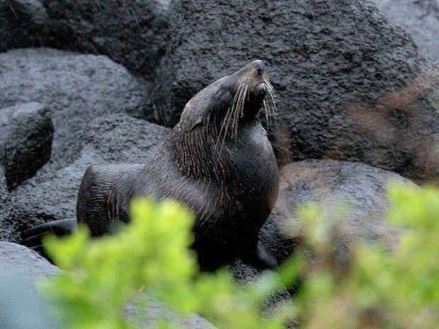 The New Zealand fur seal at Greenmount