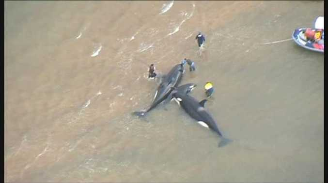 The rescue operation to save killer whales stranded near Fraser Island. Photo: Ten News