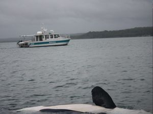 Sadness and surprise in orca drama near Fraser Island