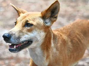 Dingo pup drowns in crab pot on Fraser Island