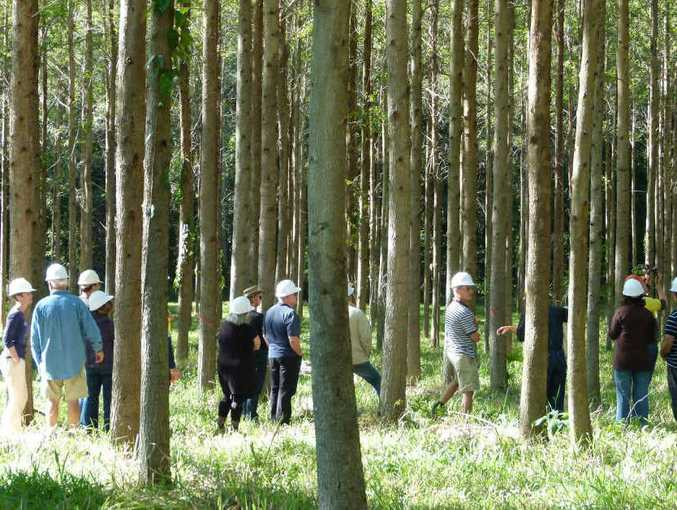 GREEN FOREST: This well-grown stand of Gympie messmate is in need of the next stage thinning.