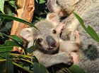 Australia Zoo's new baby koalas have come out to say g'day