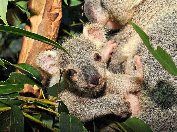 One of the bay koalas at Australia Zoo.