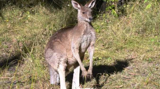 Bundaberg Regional Council says it was left with no other option than to shoot a kangaroo which was trapped in the airport grounds after numerous attempts to remove it failed.