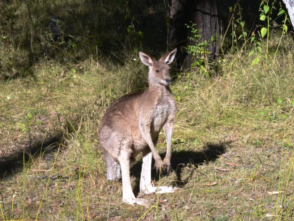 Kangaroos top the list as the animal most likely to be involved in a road accident.