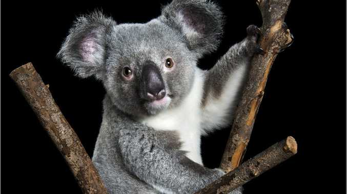 Raymond the koala was rescued from certain death when he was just three months old. Photos on canvass of the koala are on sale from today to raise money for carer group, FAUNA. Photo Contributed by Zoo Studios