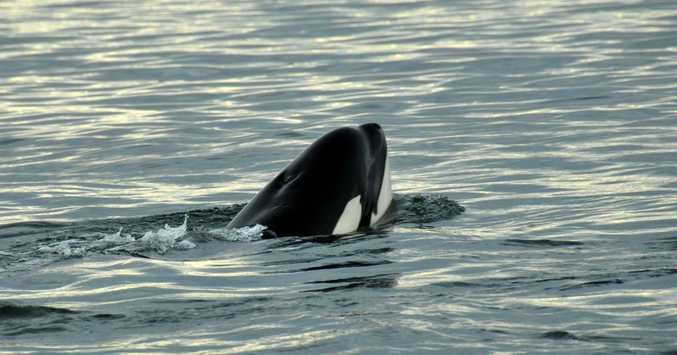 A file photo of a killer whale near Fraser Island in July 2013.