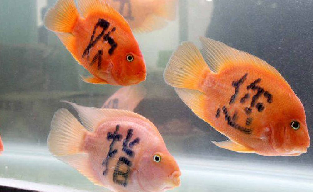 ABOVE AND RIGHT: 'Tattooed' fish have been laser treated to produce crude colours and patterns in any combination, from Chinese characters signifying good luck, to simple pink and blue stripes.