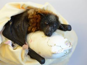 Hurt baby bat suffers high-pressure cruelty