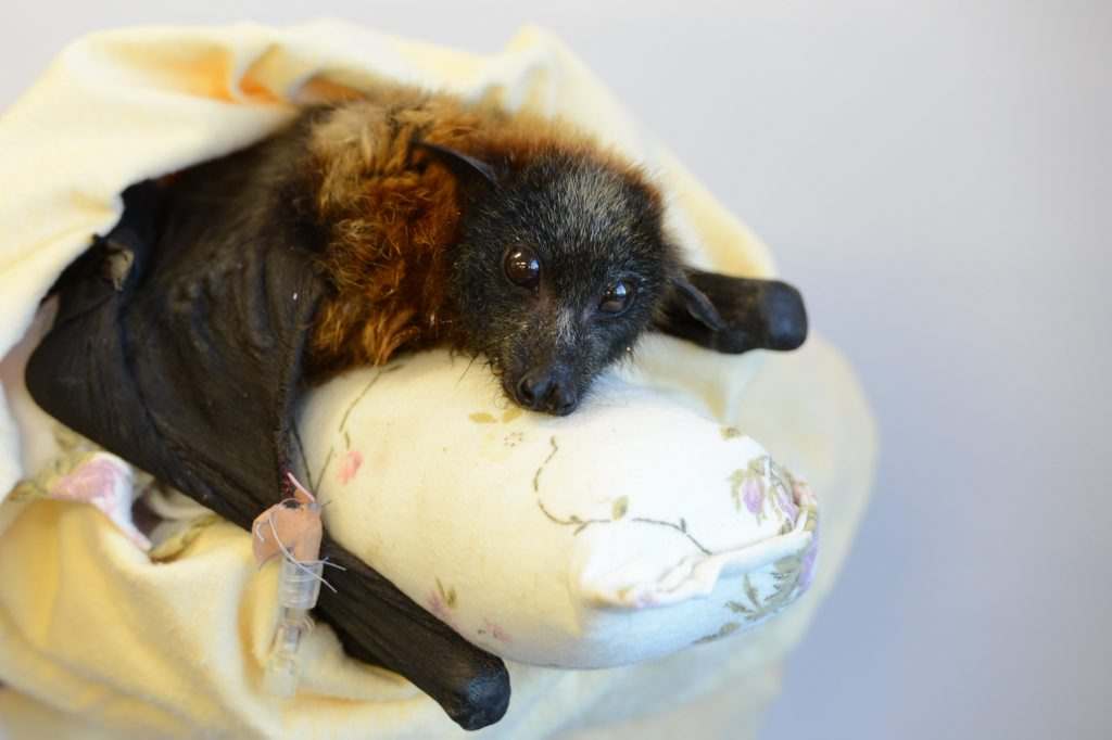 SAFE: A flying fox is in the care of the RSPCA after it was run over and blasted with a hose in an act of cruelty.