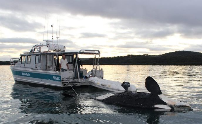 A dead killer whale being towed by a Marine Parks vessel near Fraser Island.