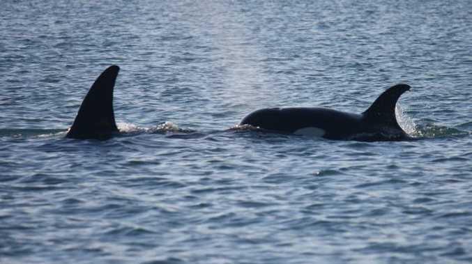 Killer whales near Fraser Island on Sunday.