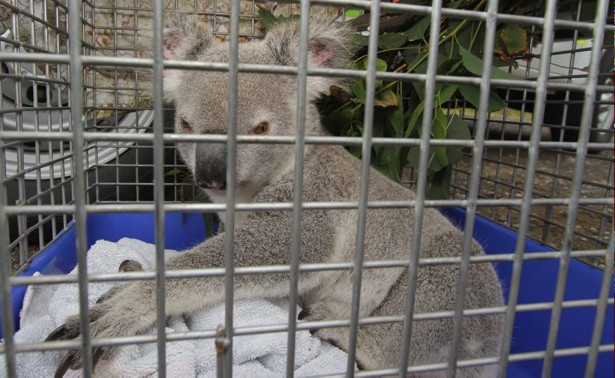 A young koala was found wandering through Henderson Park bushland that was bulldozed.
