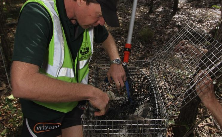 Murray Chambers places a koala, named Mellow, into a cage after being rescued in bushland at Henderson Park in Tinana.