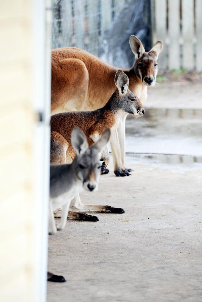 Colin Candy's kangaroos.