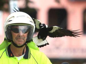 Menacing magpies start swooping unsuspecting people