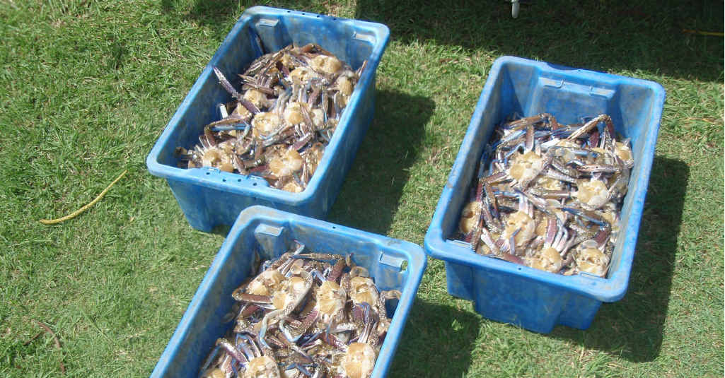 NOT WORTH THE FINE: The crates of blue swimmer crabs that were seized.