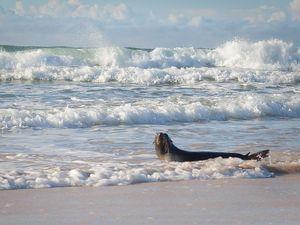 Sea lion makes an appearance at Ballina