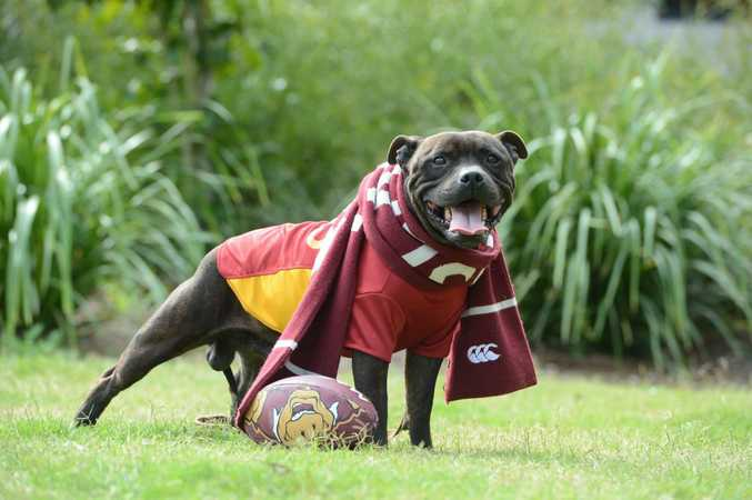Dexter the Adopt-a-pet RSPCA dog getting prepared for the State of Origin. Photo: Sarah Harvey / The Queensland Times